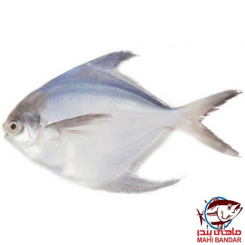 ماهی حلوا سفید