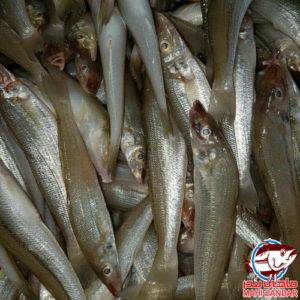 ماهی شوورت