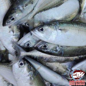ماهی کولی