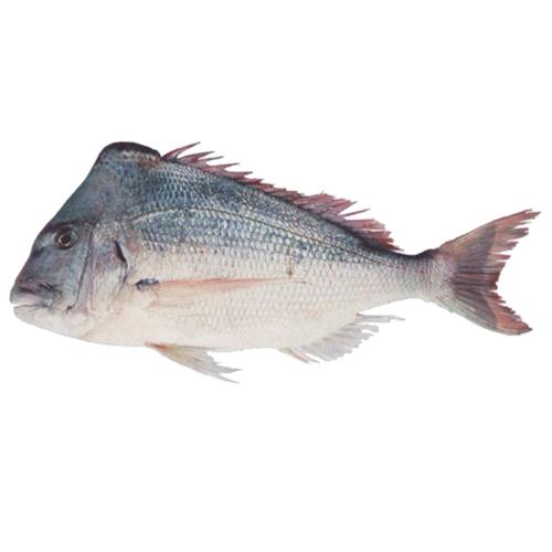 ماهی کوپر