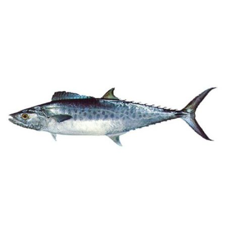 ماهی قباد